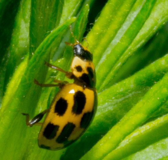 Ladybug 24