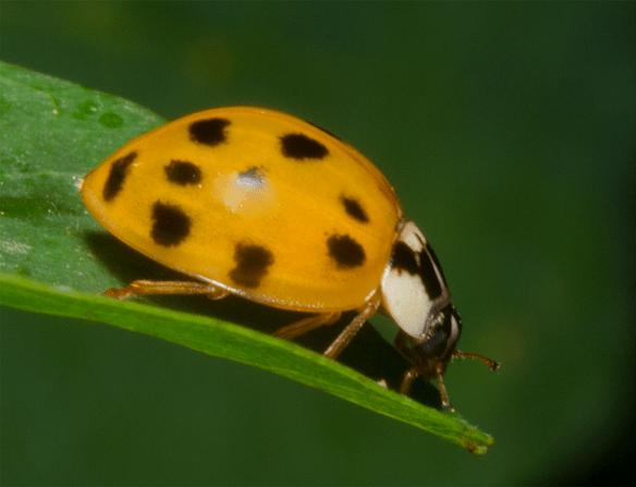 Ladybug 26
