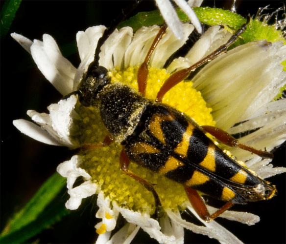 Locust Borer 8