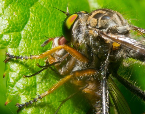 Robber Fly 4
