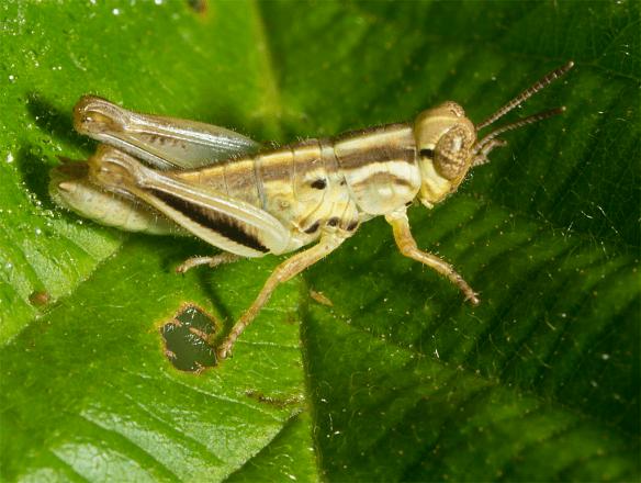 Grasshopper 52