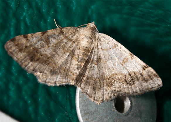 Moth 72