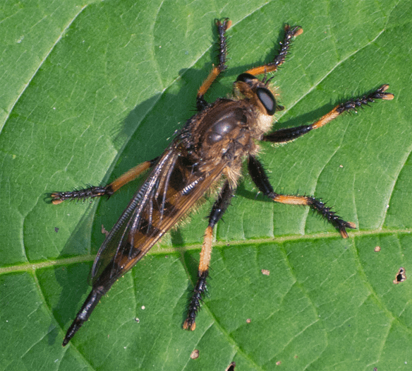 Robber Fly 6