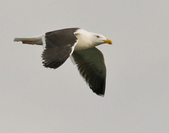 Black Backed Seagull