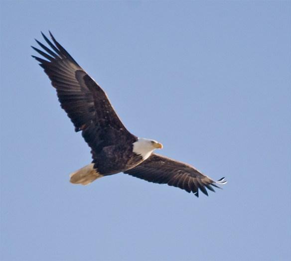 Bald Eagle 380