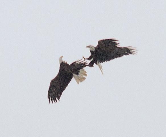 Bald Eagle 386