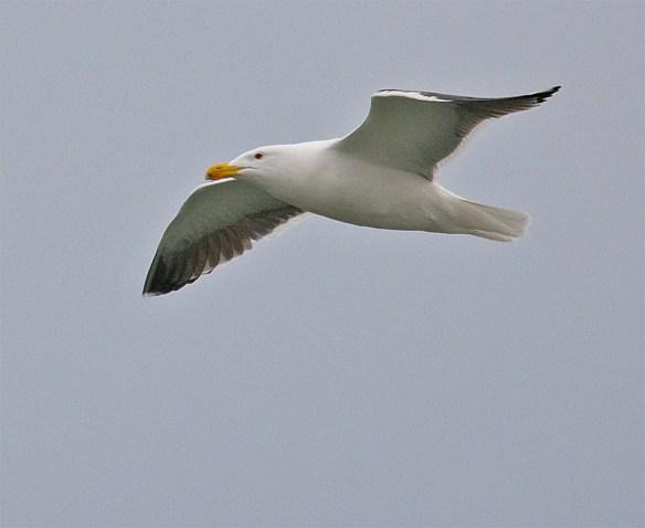 Black Backed Seagull 24