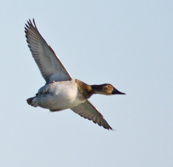 Canvasback 100