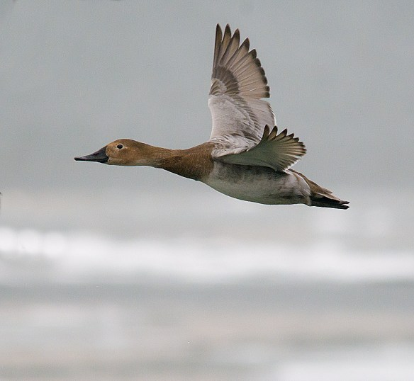 Canvasback 122