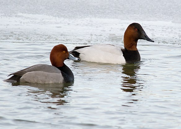 Canvasback 123