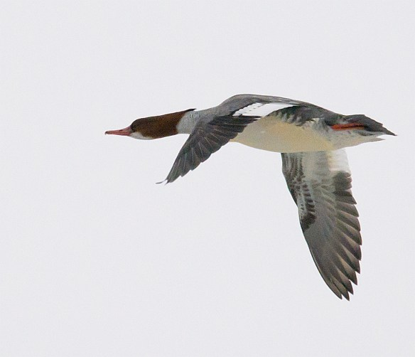 Common Merganser 108