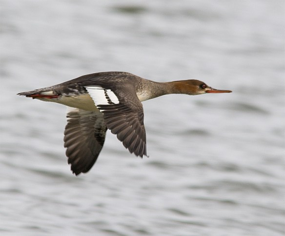Red Breasted Merganser 122
