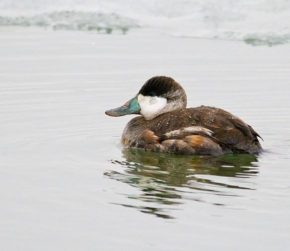 Ruddy Duck 94