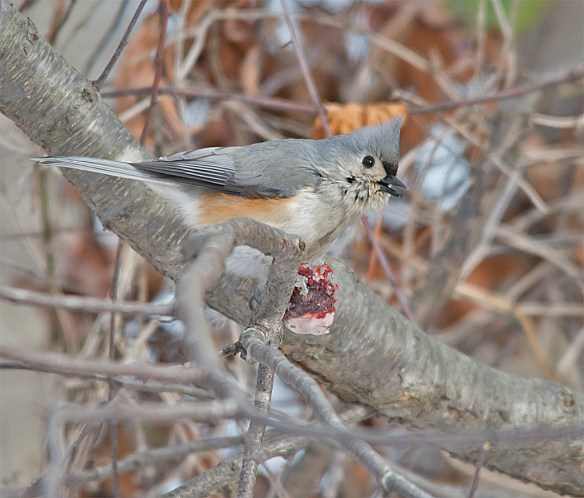 Tufted Titmouse 200