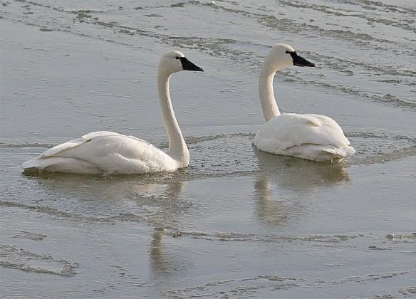 Tundra Swan 101