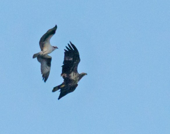 Bald Eagle 408