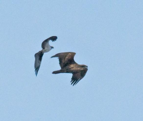 Bald Eagle 409