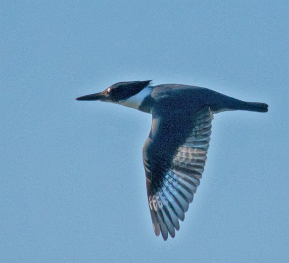 Belted Kingfisher 108