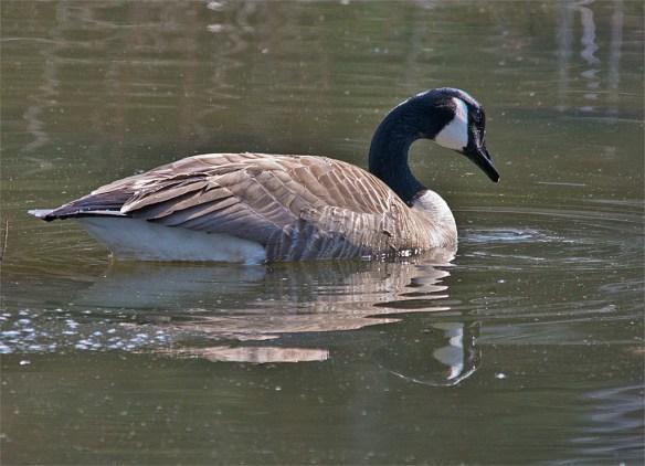 Canada Goose 102