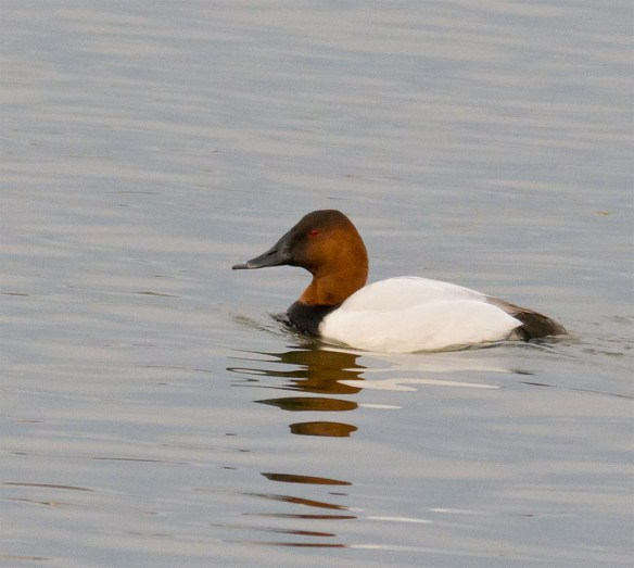 Canvasback 134