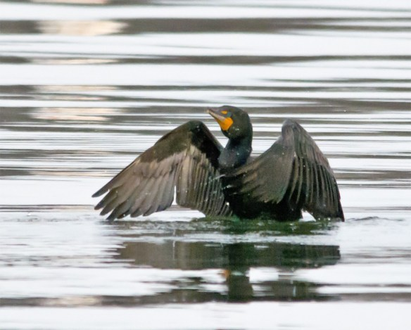 Double Crested Cormorant 93