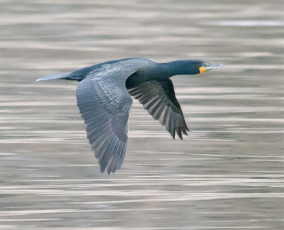 Double Crested Cormorant 95