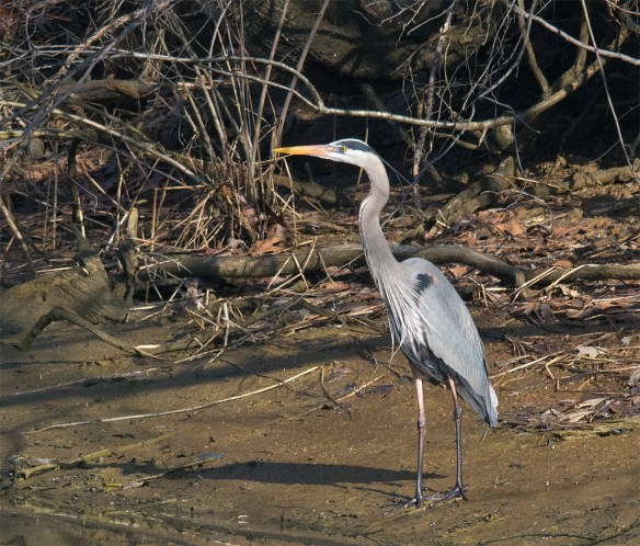 Great Blue Heron 271
