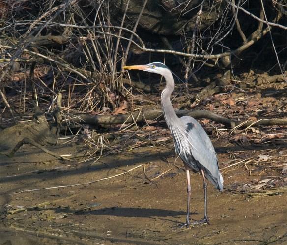 Great Blue Heron 271