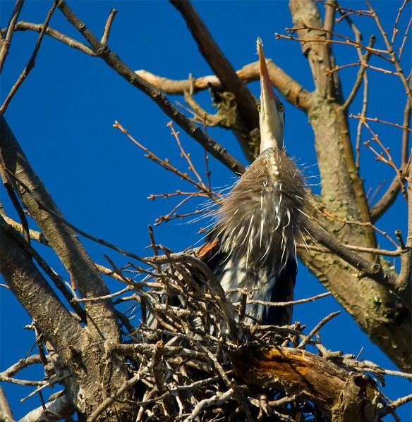 Great Blue Heron 276