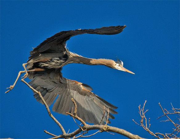 Great Blue Heron 278