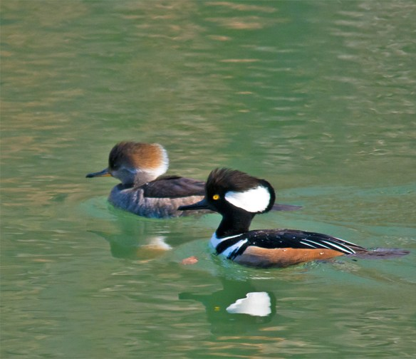 Hooded Merganser 135