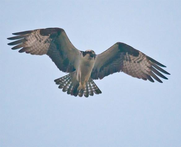 Osprey 269