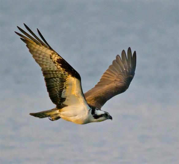 Osprey 273