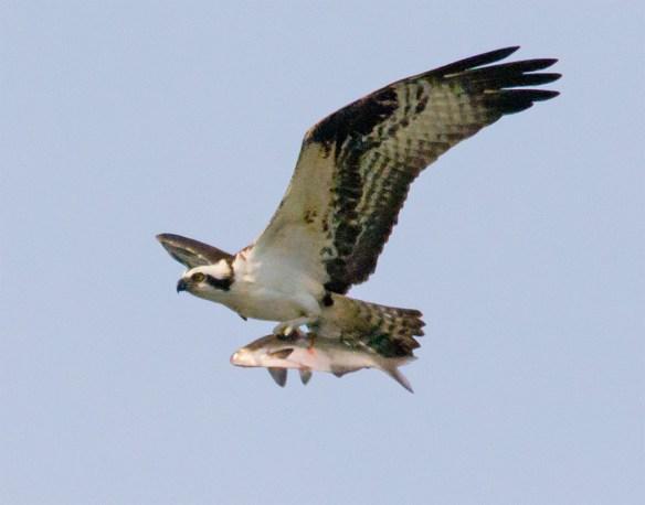 Osprey 274
