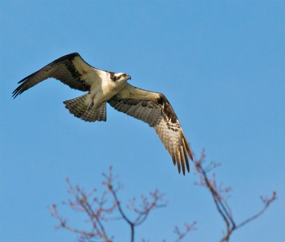 Osprey 275
