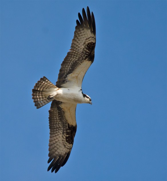 Osprey 279