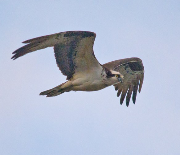 Osprey 281