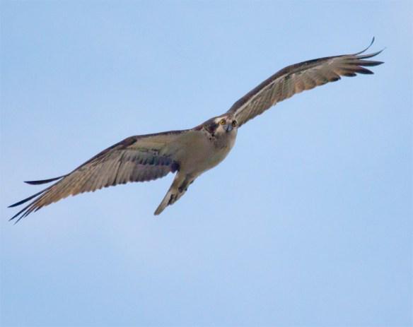 Osprey 282