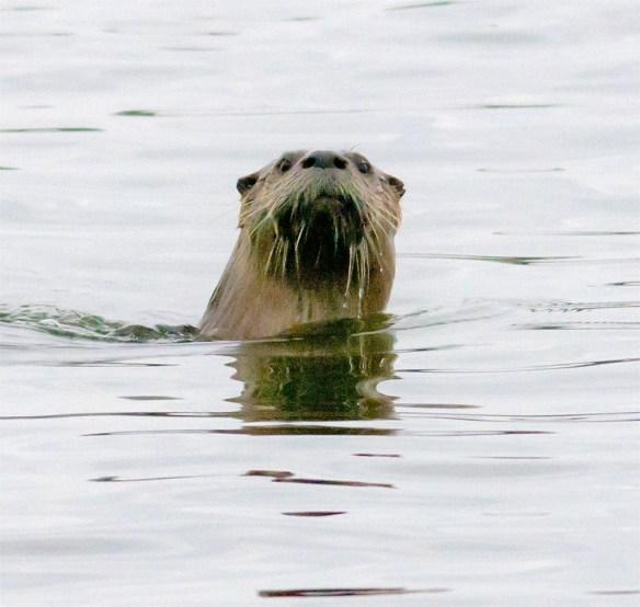 River Otter 7