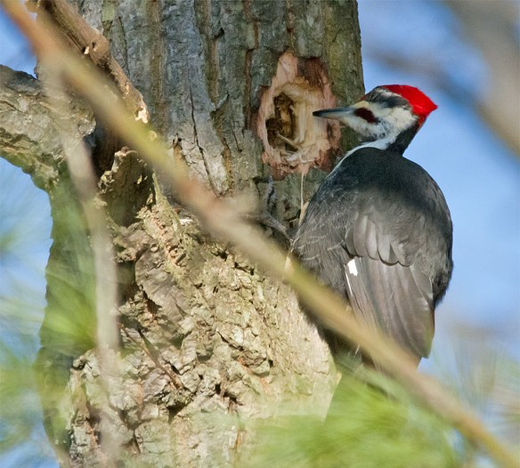 Pileated Woodpecker 104