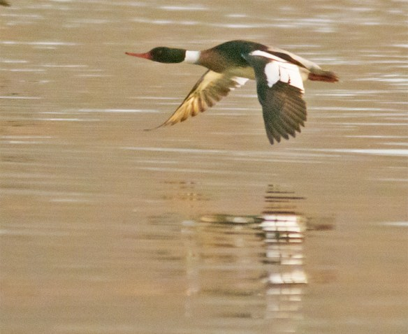 Red Breasted Merganser 134