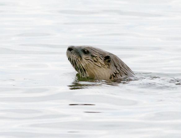 River Otter 6