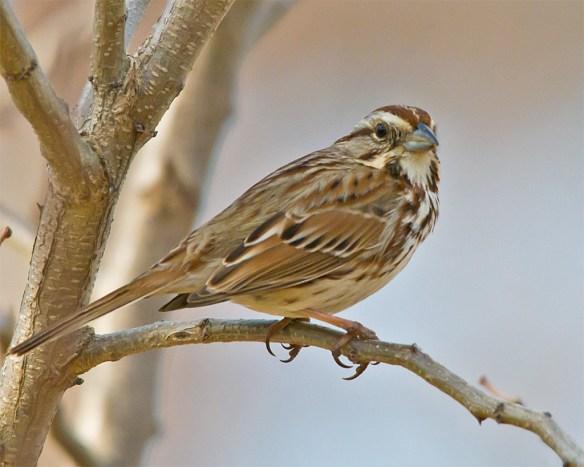 Song Sparrow 131