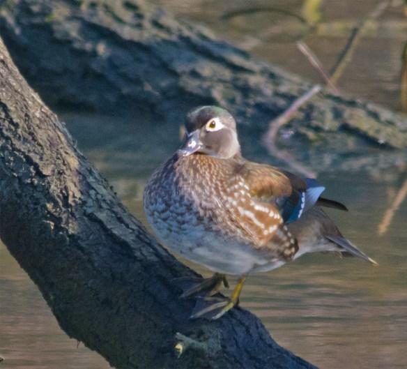 Wood Duck 207