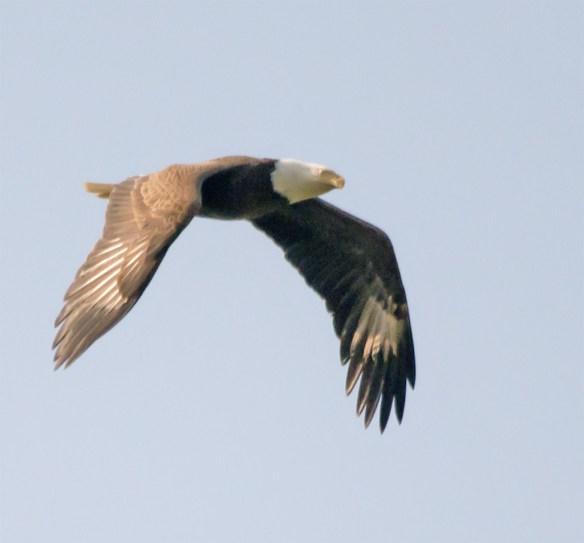 Bald Eagle 411