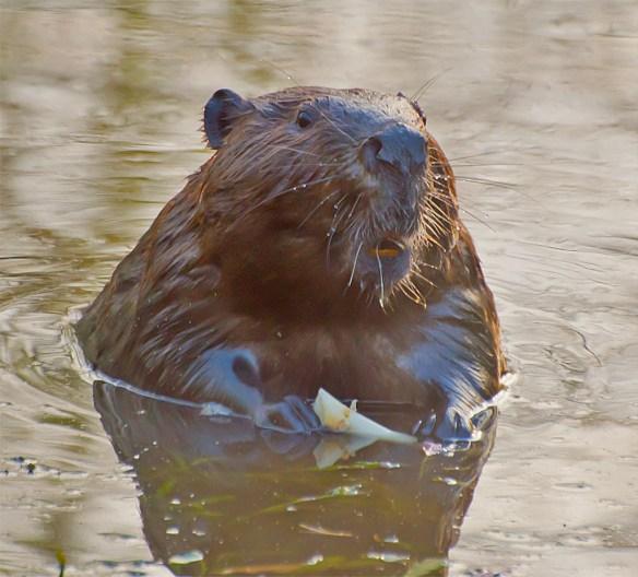 Beaver 17