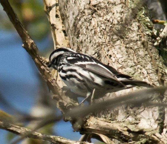 Black and White Warbler 100
