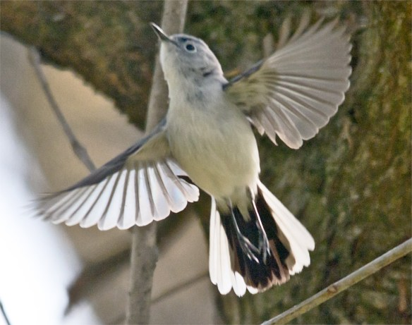Blue Gray Gnatcatcher 208