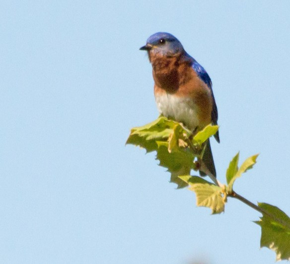Bluebird 198