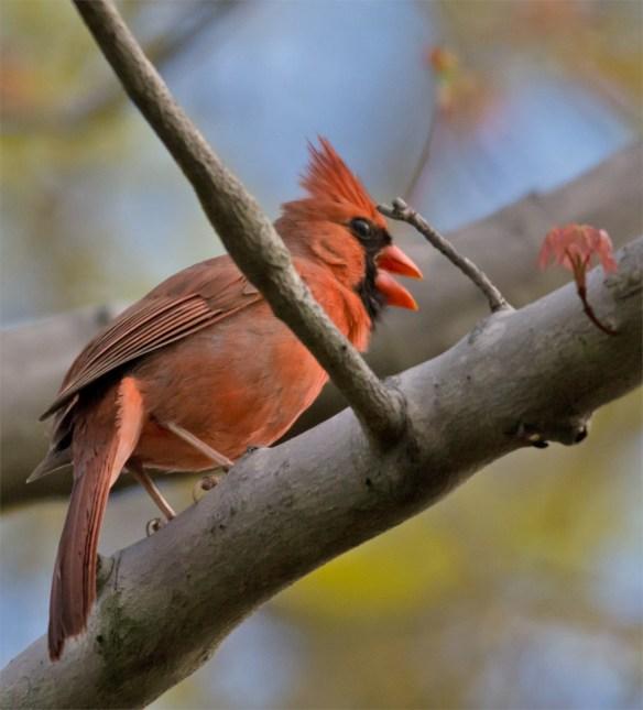Cardinal 186